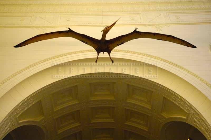 Flying dinosaur - pterodactyl, pictures of animals at Field Museum