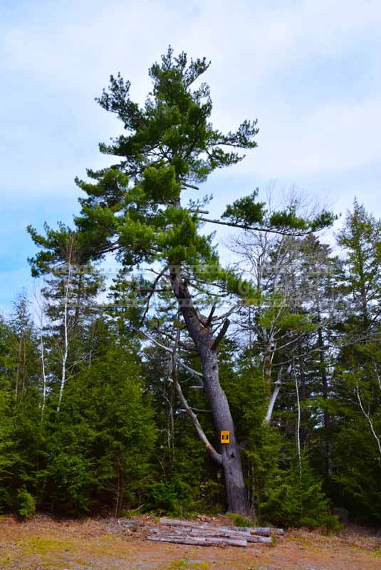 Old pine tree, Nova scotia nature pictures
