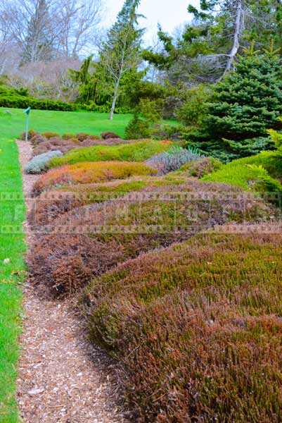 Heather bushes at botanical gardens in nova scotia, spring