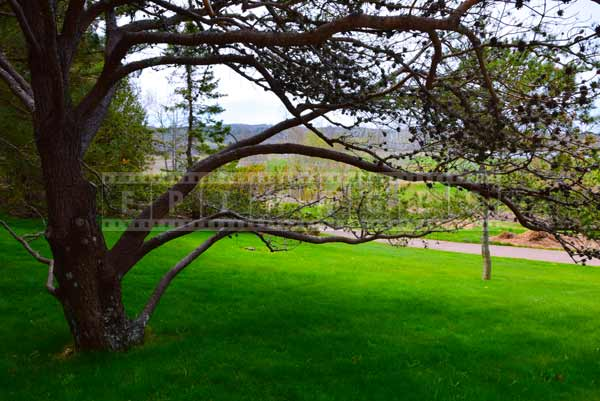 Pine Tree sweeping branches, landscape photography