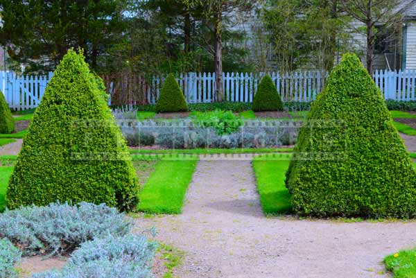 Pyramid shaped bushed in Knot Garden