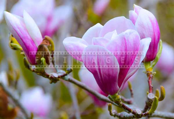 saucer magnolia has large white and purple flowers, nature pictures