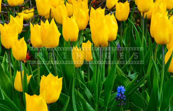 spring blooming of yellow tulips