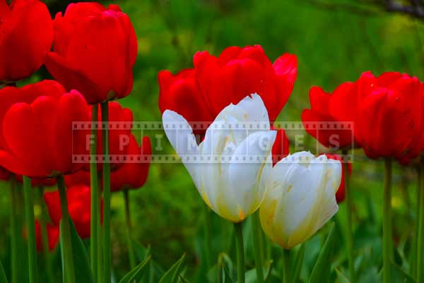 Red and white tulips pictures of flowers are bright and colorful