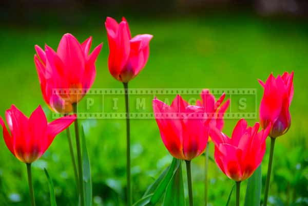 Botanical gardens pink tulips, spring flowers at Annapolis Royal