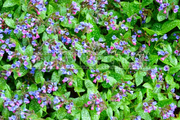 Busy desktop background - flowering lungwort