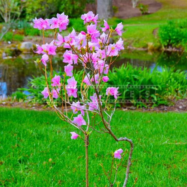 azalea spring flowers pink blossom