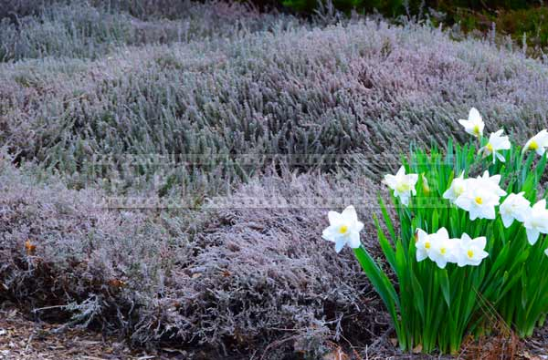 Heather bush and white daffodils at botanical gardens spring flower pictures