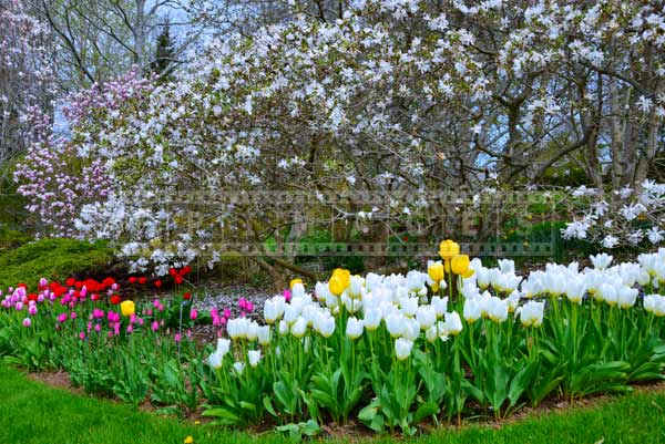 Tulip flower bed around white blossom of magnolia tree