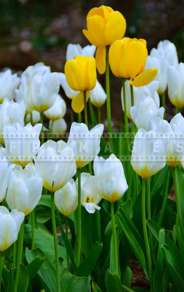 Nature pictures with white and yellow tulips