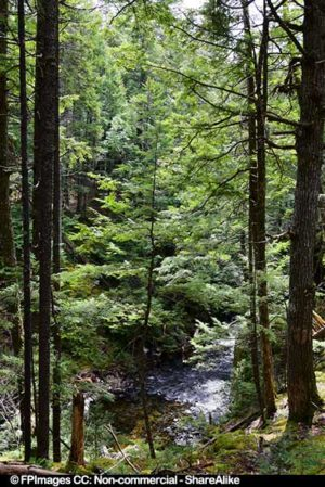 Tall pine trees near Dawson Brook Waterfall, forest picture