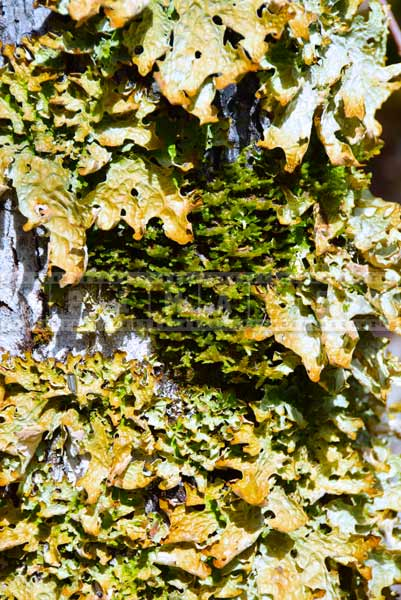 Common names lungwort, lung lichen, scientific name - Lobaria pulmonaria