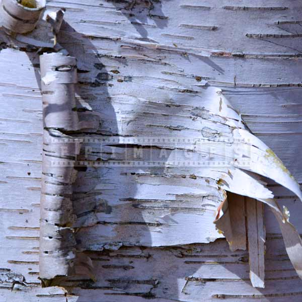 White birch trunk and bark, nature pictures