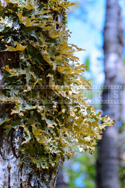 Nova Scotia forest lichen, detail nature pictures
