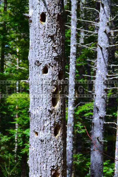 woodpecker nests - forest nature picture