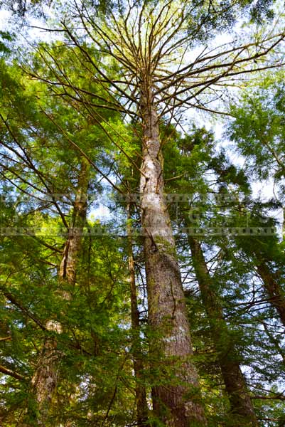Beautiful forest of pine trees near the waterfall