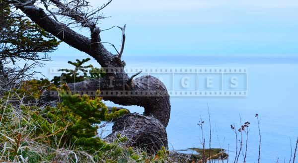 windswept tree on Bay of Fundy shore, scenic travel images