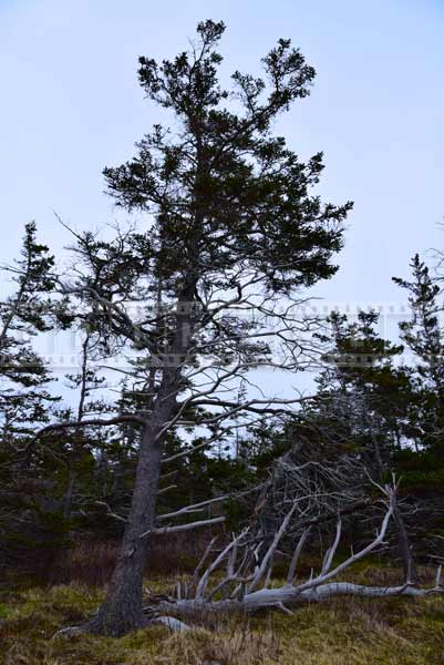 Fundy shore windswept pine trees, nature pictures