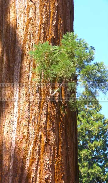 Old Redwood tree grows a new branch, new beginnings