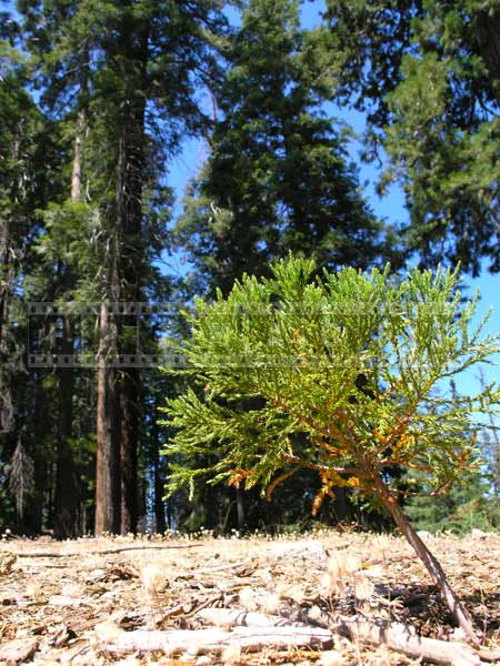 small sequoia seedling trying to grow in a mature forest