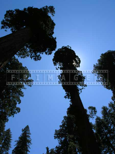 Sequoia tree against blue sky