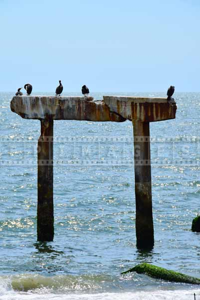 Damaged concrete posts are occupied by cormorant colony