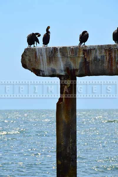Pictures of birds - cormorants sitting on boardwalk wreck in Atlantic City