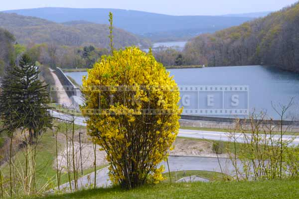 horseshoe curve spring landscapes with bright yellow forsythia, pennsylvania attractions