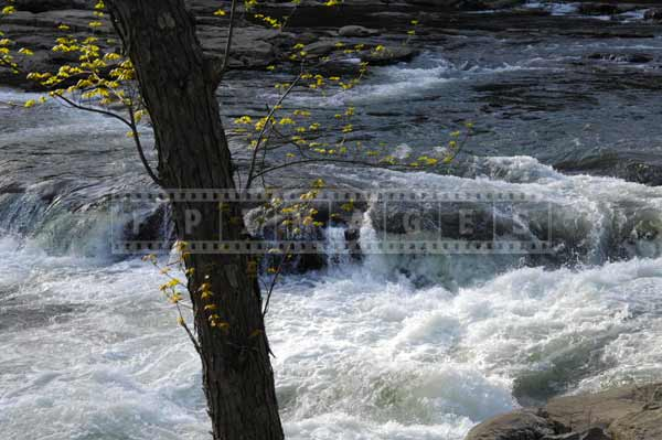 First leaves on the tree above Youghiogheny River, spring images