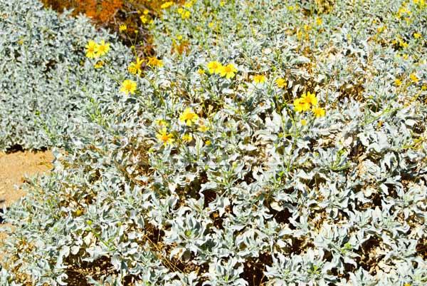 oasis of mara Brtillebush - Mojave desert plants (Encelia farinosa)