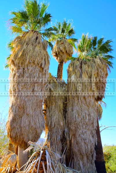 California Fan Palms (Washingtonia filifera), nature pictures