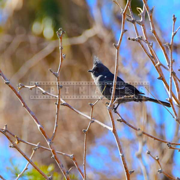 phainopepla - tropical bird, nature pictures