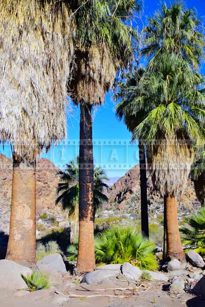 Adult fan palms can survive the fire, nature pictures