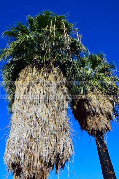 Fan palms with burnt trunk from fire