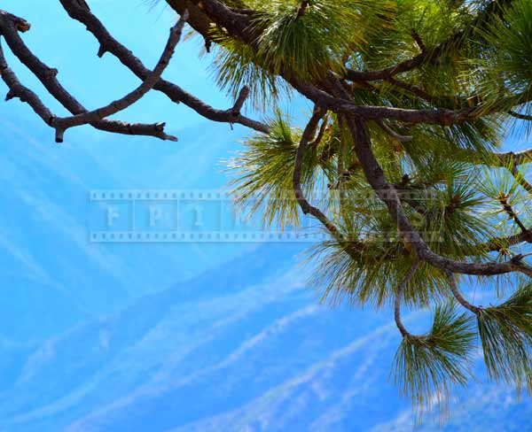 Pine tree branch on a blue background