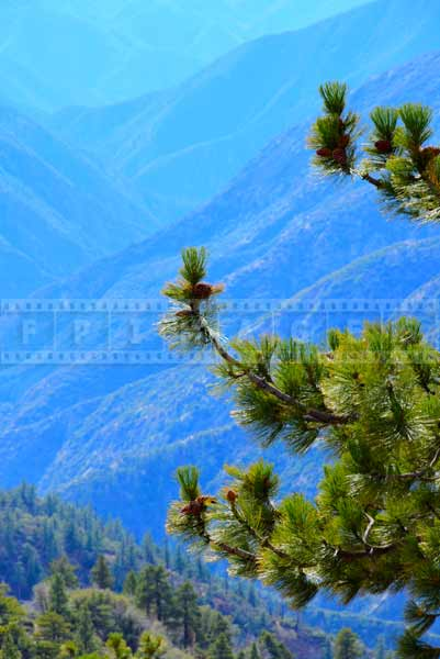Green pine and blue mountains background complement each other
