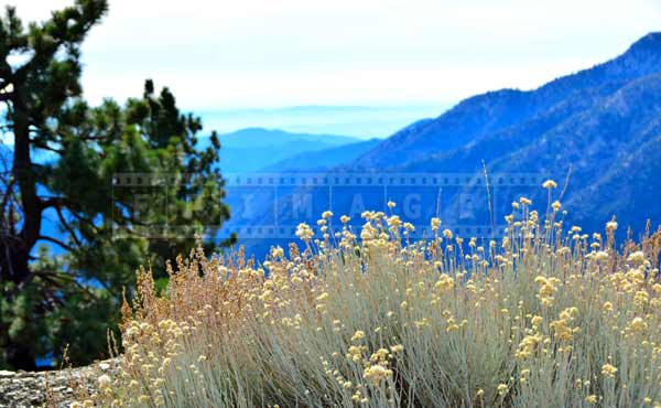 Dry grass flowers contrasting with the mountains