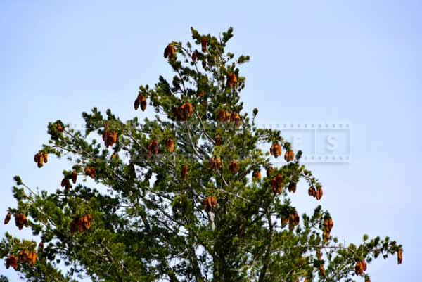 Pine cones on a large pine tree