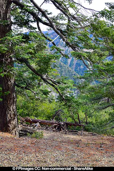 Large tree in the Angeles National Forest