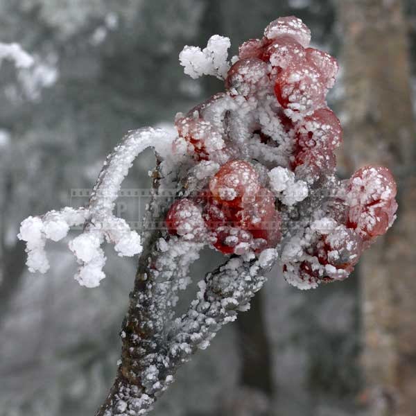 rowan tree red berries ice covered