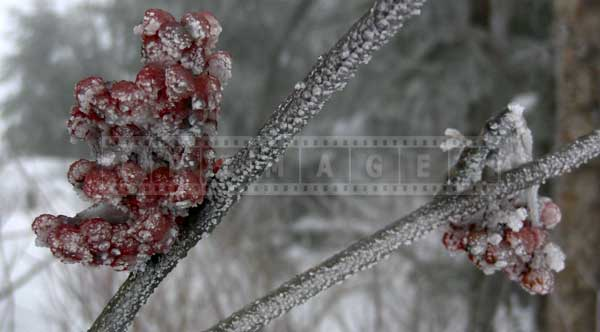 Desktop backgrounds ideas - red berries after ice storm