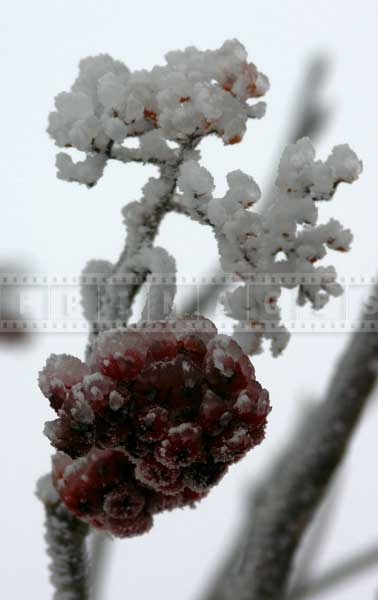 red-winter-berries-ice-storm (3)