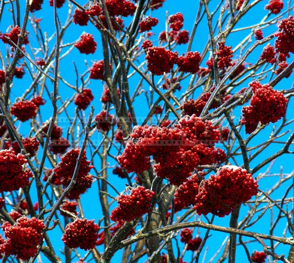 red-winter-berries-ice-storm (5)