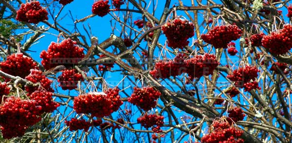 Bunches of red berries after ice storm