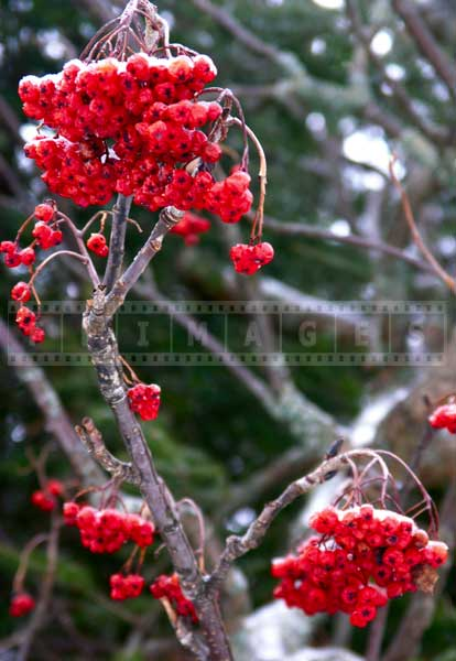 red winter berries after ice storm