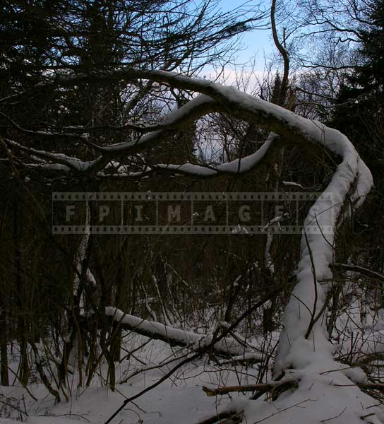 Curved trunk of an old apple tree in the winter forest