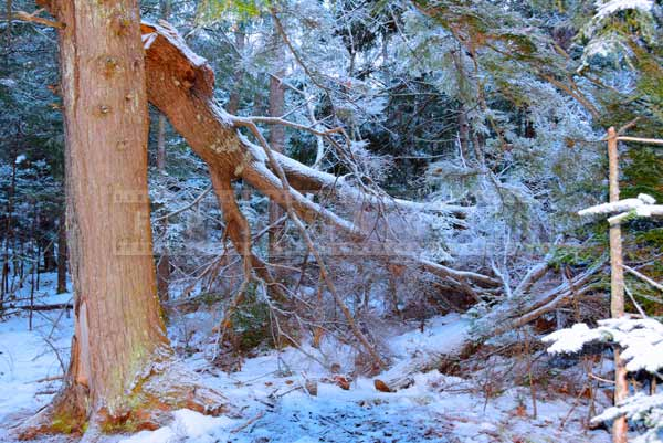 Tree with a broken branch, winter forest nature pictures
