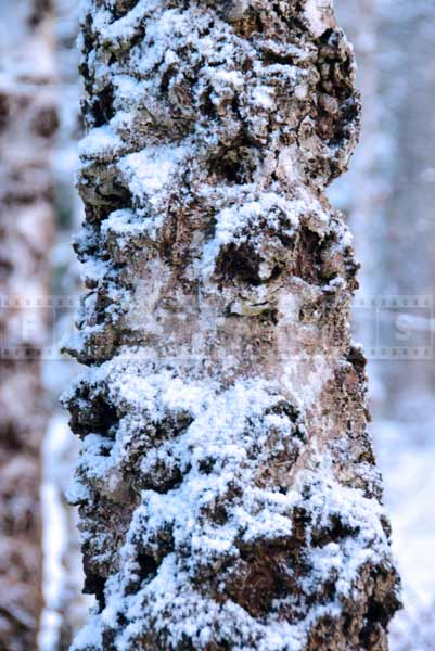 Close up photo of a bark texture, winter nature pictures