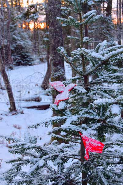 Red Christmas decorations on a small tree, winter hiking trail pictures