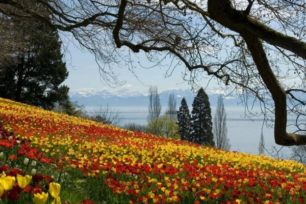 flowers, hill woth yellow and red tulips